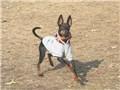 小型犬 トイ・マンチェスター・テリア