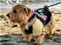 小型犬 ノーフォーク・テリア