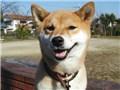 小型犬 柴犬