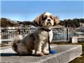 小型犬 シー・ズー