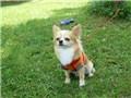 小型犬 チワワ