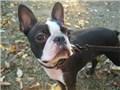 小型犬 ボストン・テリア