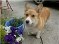 小型犬 ウェルシュ・コーギー・ペンブローク
