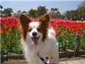 小型犬 パピヨン