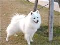中型犬 日本スピッツ