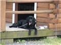 大型犬 フラットコーテッド・レトリーバー