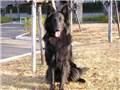 大型犬 ベルジアン・シェパード・ドッグ(グローネンダール)