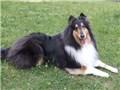 大型犬 ラフ・コリー