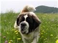 大型犬 セント・バーナード