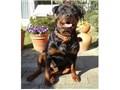 大型犬 ロットワイラー